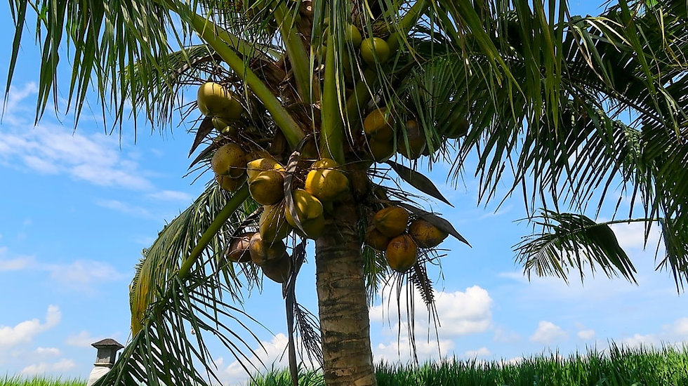 «Indonesian Coconut Palm Tree» – Photoimage