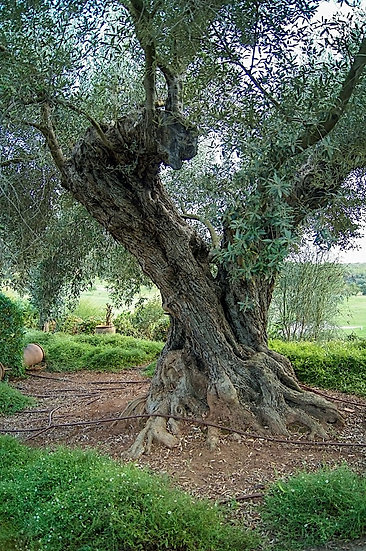 «Old Olive Tree» – Photoimage