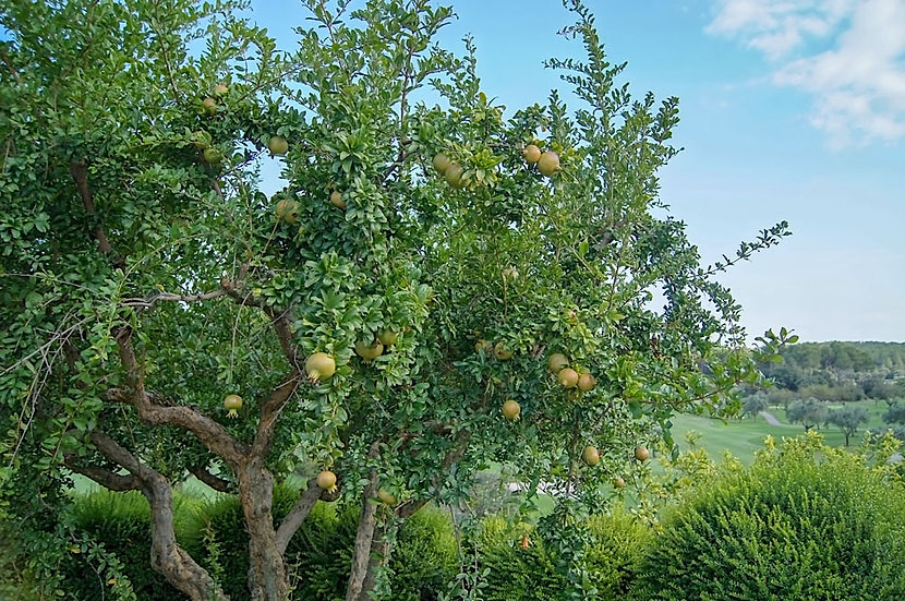 «Pomegranate Tree» – Photoimage