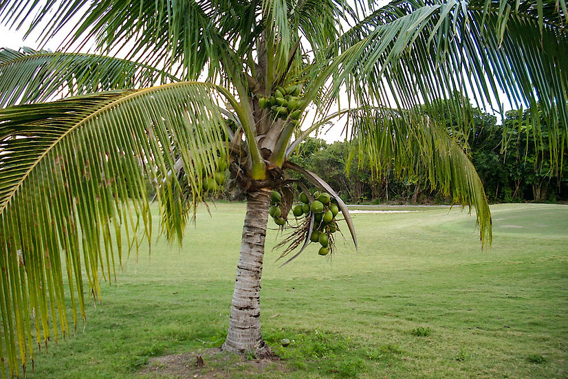 «Caribbean Palm Tree» – Photoimage