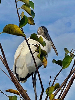 The Reigning Elegance of the Wood Stork