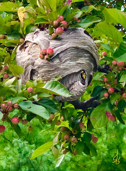 Baldface Hornets' Nest