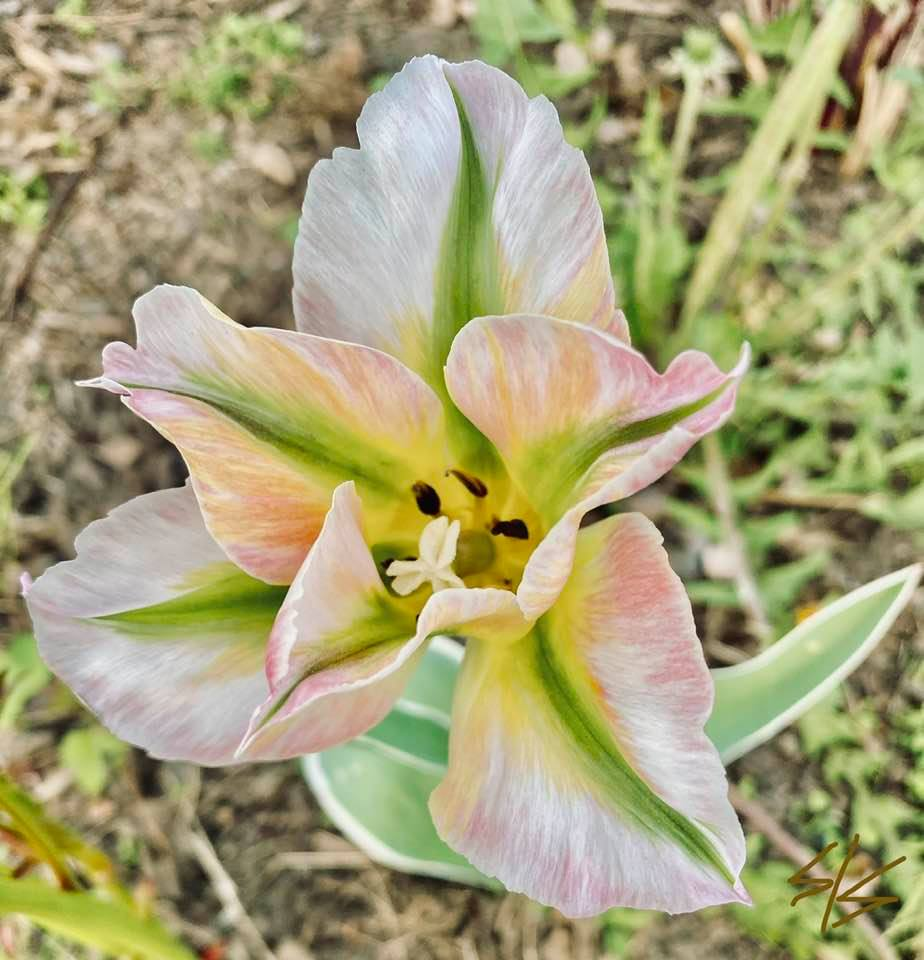 Unfolding Tulip