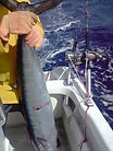 Trolling with electric fishing reels for Wahoo