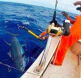 Yellowfin tuna (Ahi) caught with FISH WINCH® & Shimano Tiagra electric fishing reel.jpg