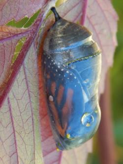 monarch-chrysalis-clear-9-16-16_orig