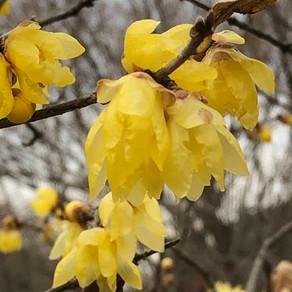 蝋梅( Chimonanthus praecox )