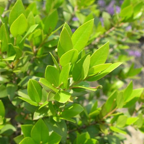 Myrtus communis(マートル)