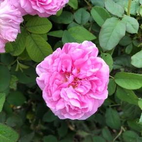 Rosa damascena(ローズ)