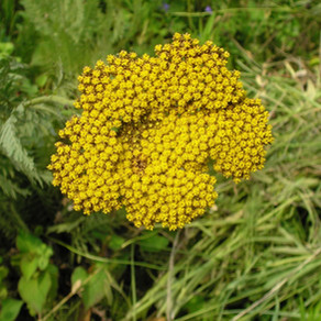 Helichrysum italicum (ヘリクリサム・イモーテル)