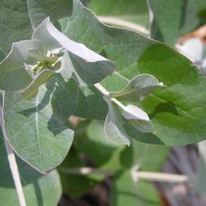 Eucalyptus( ユーカリ・グロブルス、ユーカリ・ラディアタ)