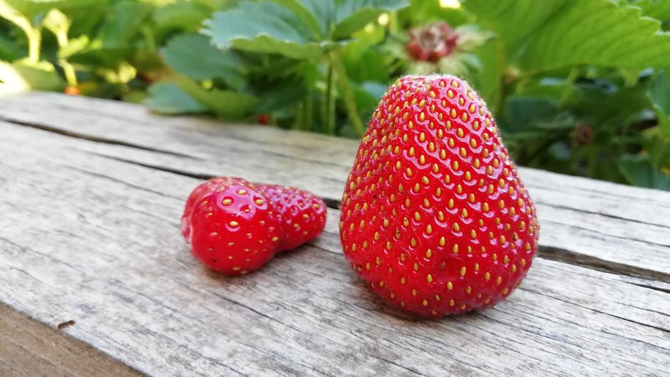Mis fresas y otros animales