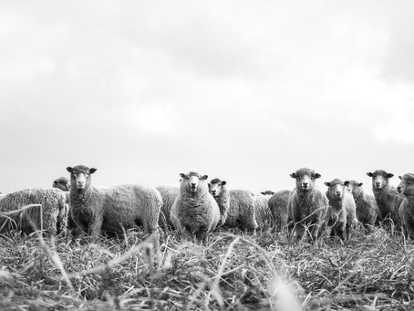 All About Sheep Farming in Australia