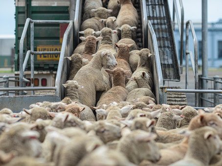 The Best Bale Hay Feeders In Adelaide For Sheep