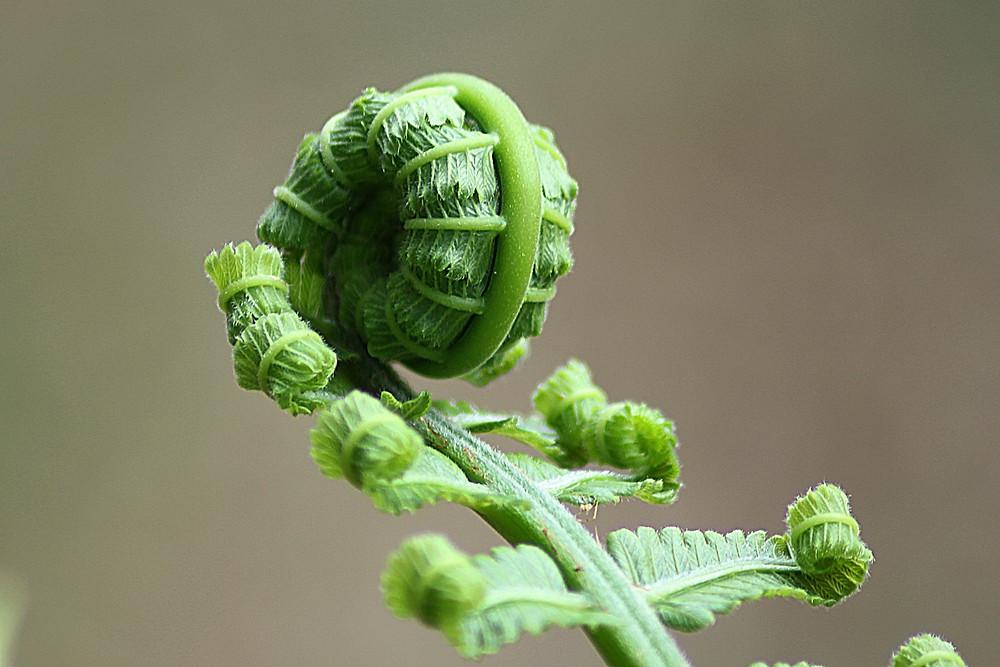 New growth, unfurling fern, NZ icon, New Zealand
