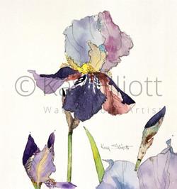 Single Bearded Iris