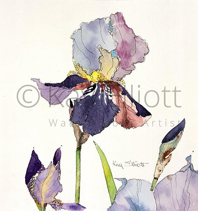 Single Bearded Iris - Print