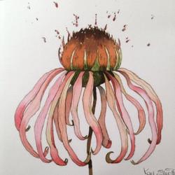 NEW* Pink Echinacea