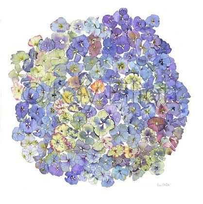 Blue Hydrangea - Print