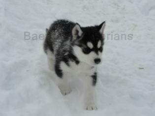 siberian husky breeder illinois