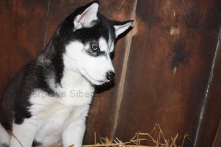 Baerpaws Siberians | AKC Siberian Husky Illinois Breeder