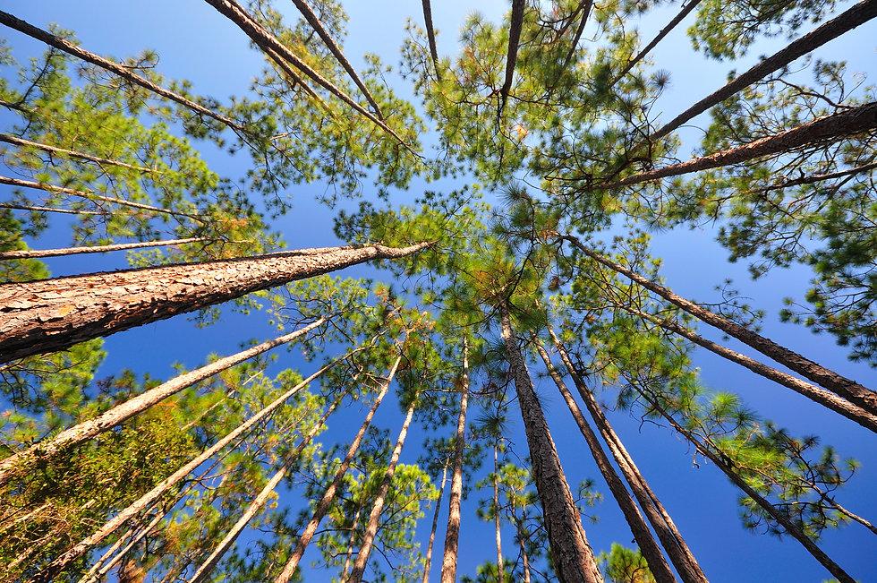 Canopies of Longleaf pine (Pinus palustr