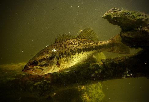 bigstock-Largemouth-Bass-Fish-62322470.j