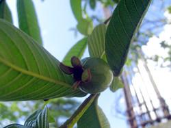 Guava (2006)