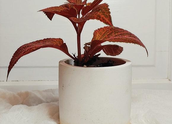 Coleus in Modern Planter (Red+White)