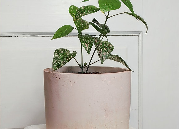 Polka Dot Plant in Quill Classic Planter