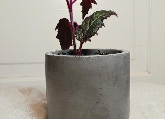 Purple Passion in Modern Planter (Purple+Black)