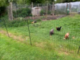 chicken run.png