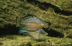 Melanotaenia splendida inornata (Chequered Rainbowfish)