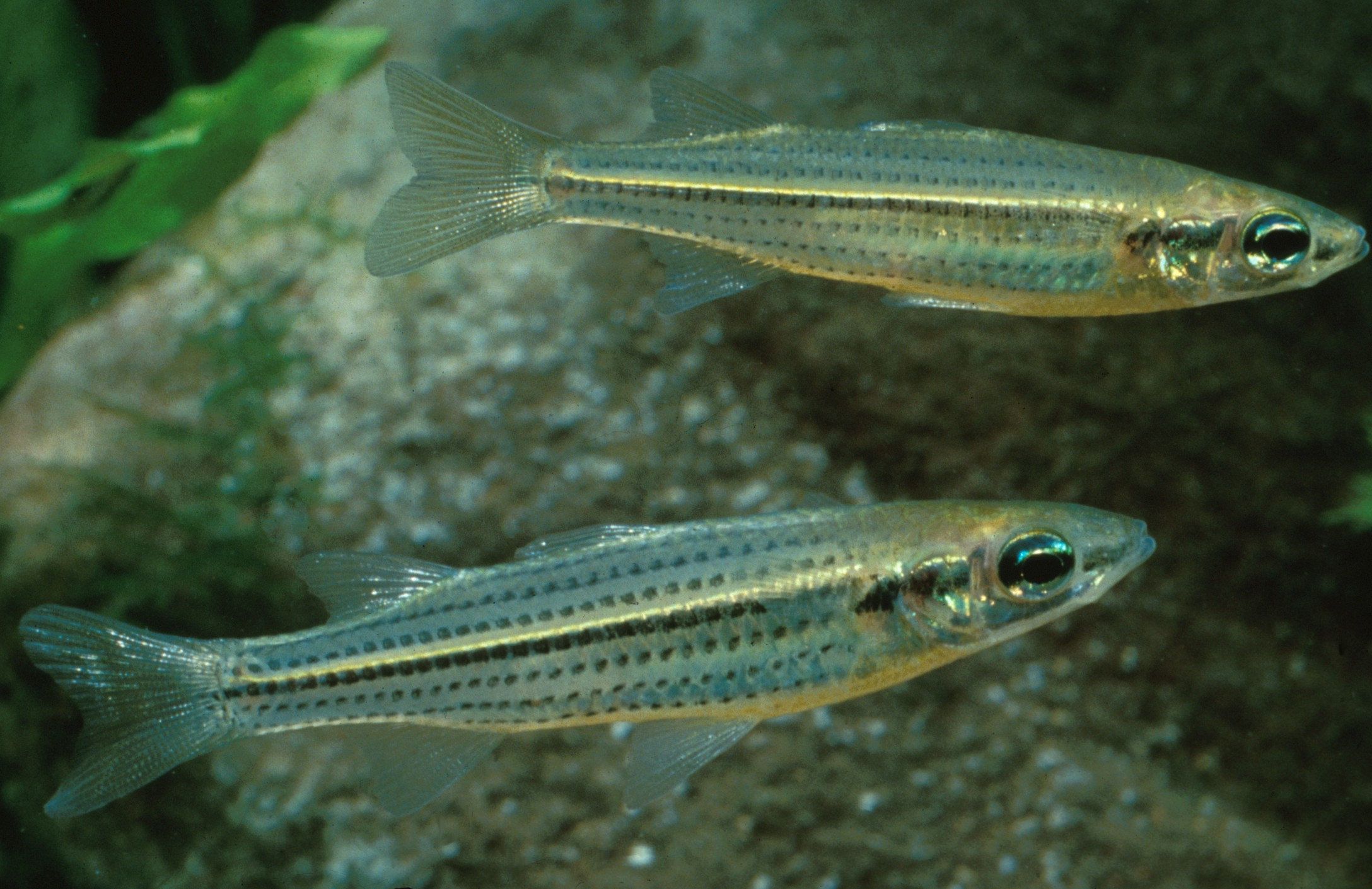 Craterocephalus stercusmuscarum (Fly-specked Hardyhead)