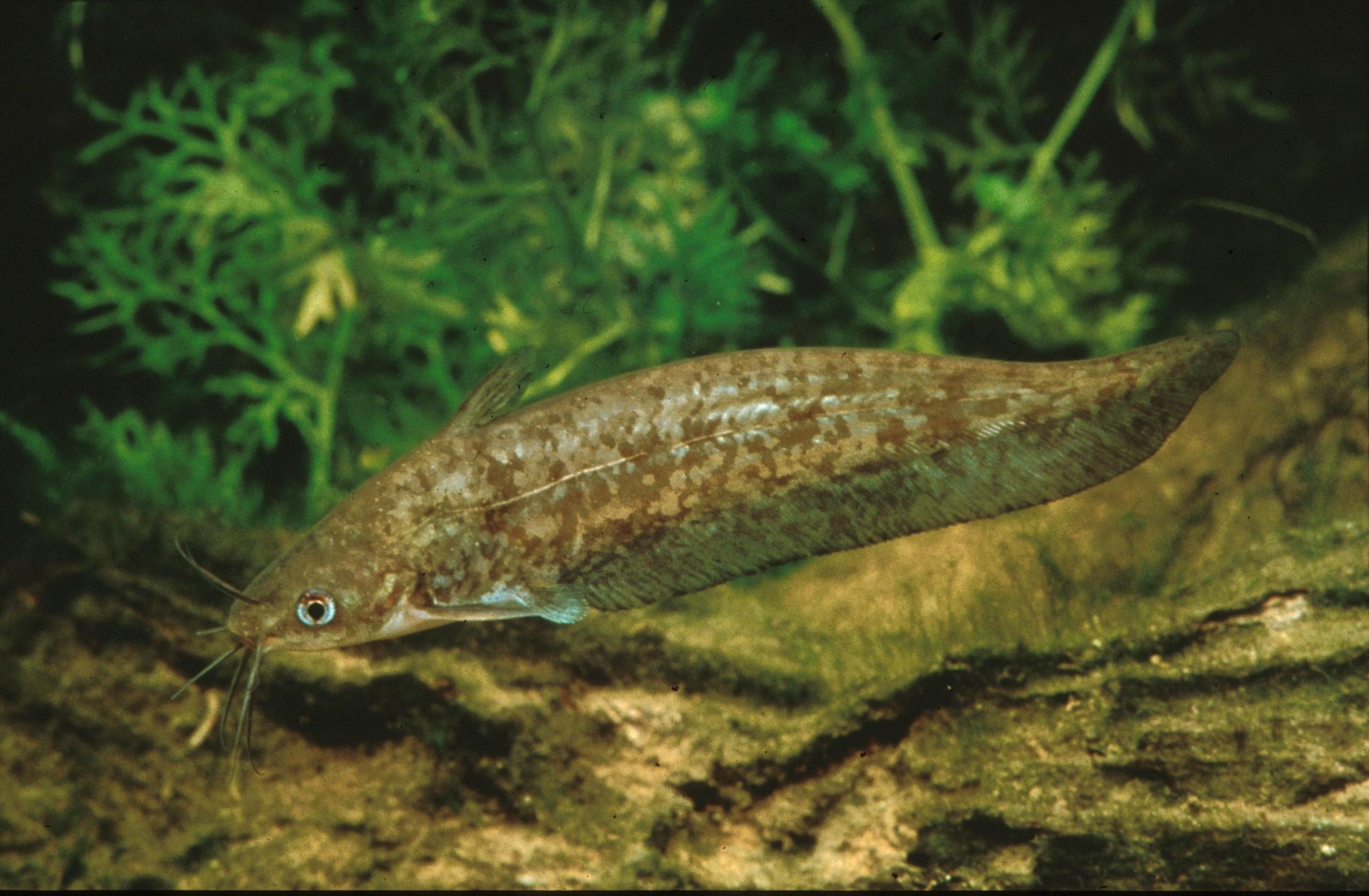Porochilus rendahli (Randahl's Catfish)