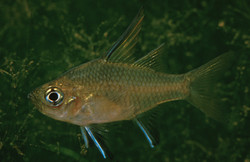 Ambassis agrammus (Sailfin Glassfish)