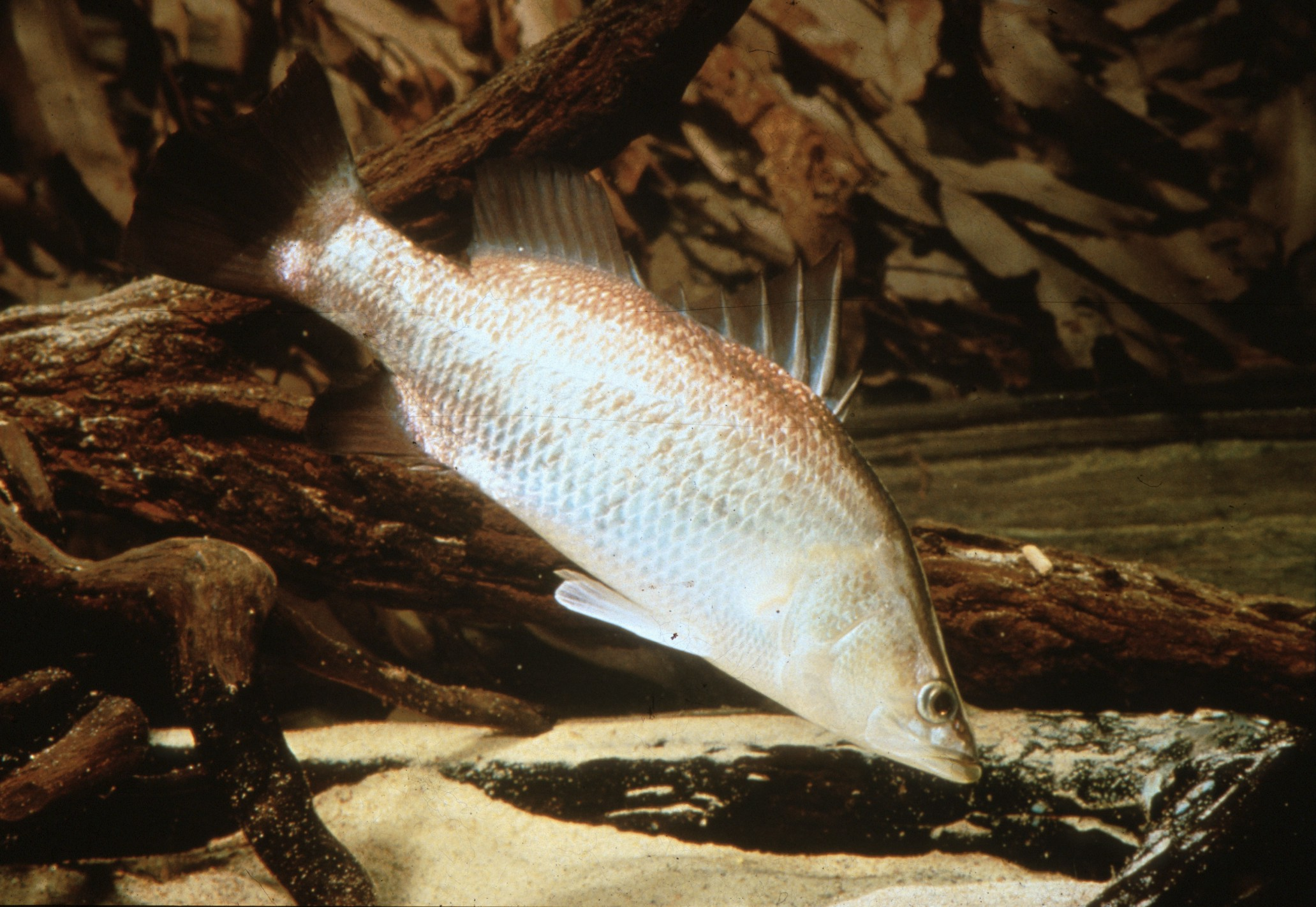Lates calcarifer (Barramundi)