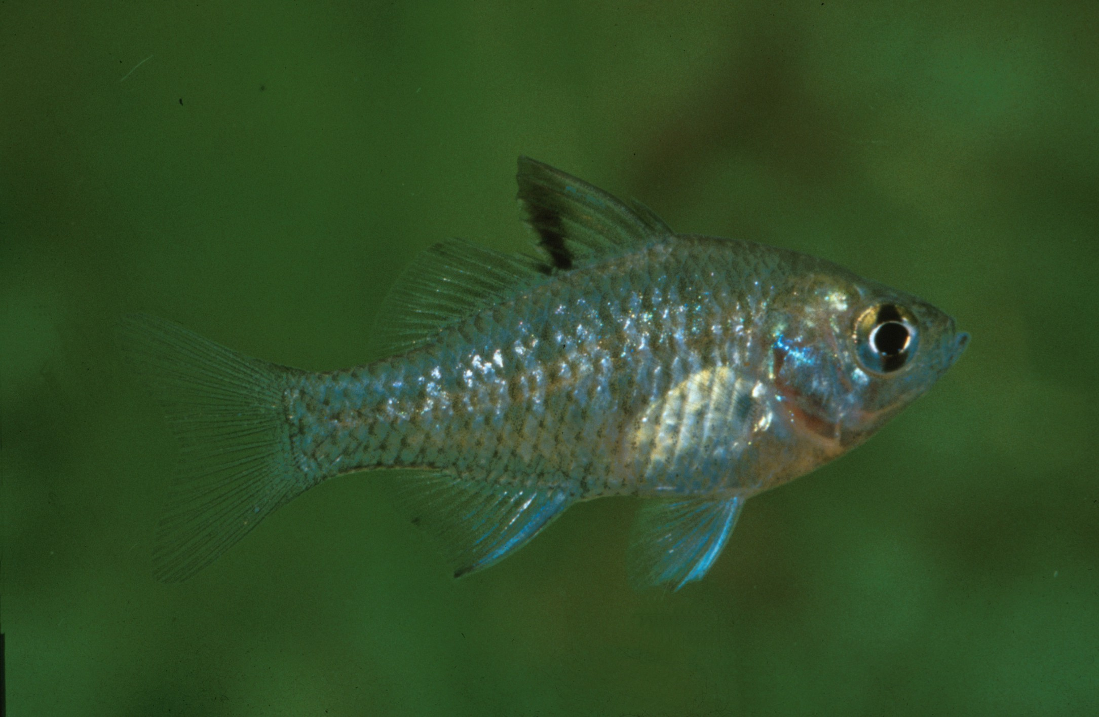 Denariusa bandata (Penny Fish)