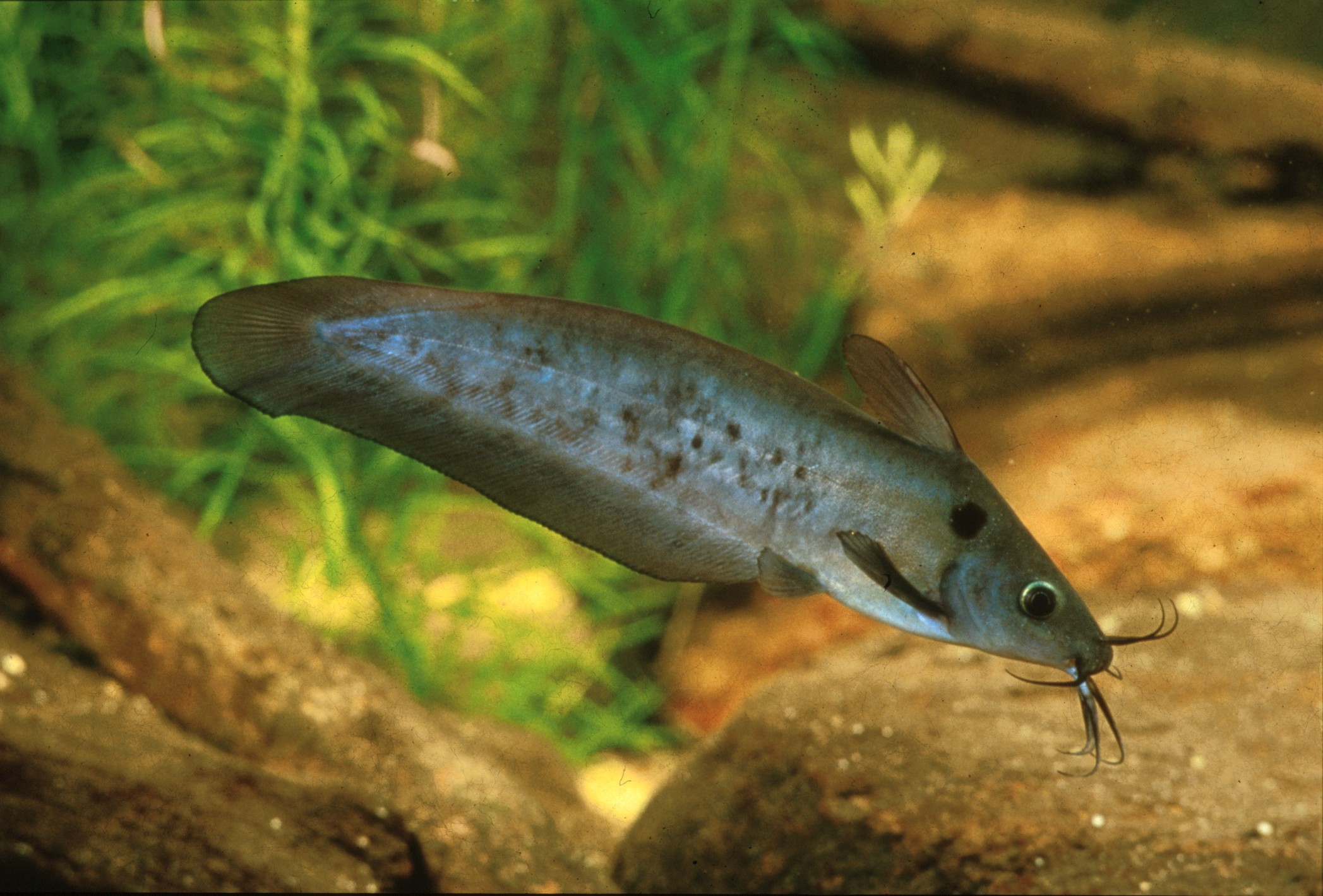 Neosilurus ater (Black Catfish)