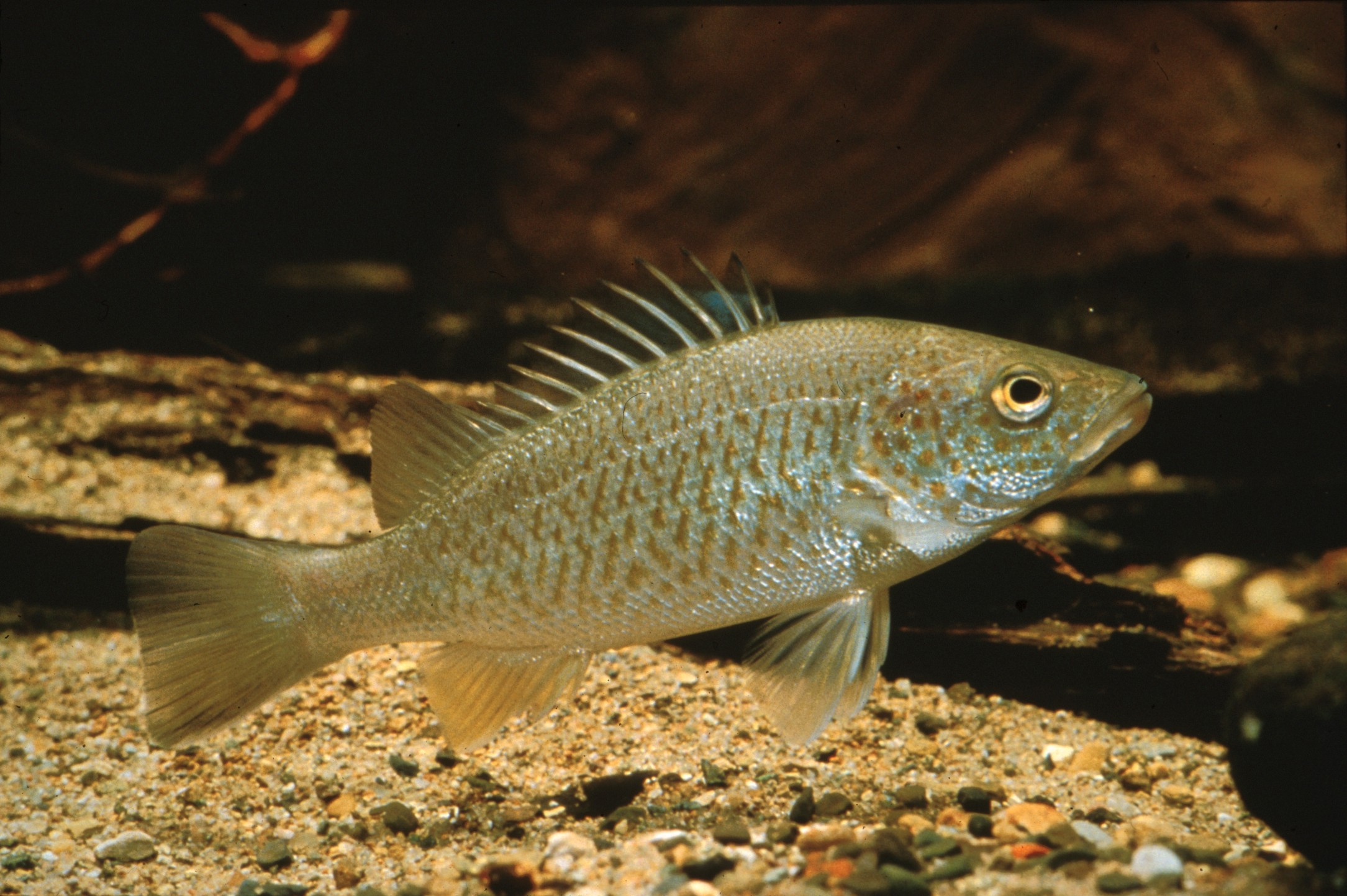 Leiopotherapon unicolor (Spangled Grunter)