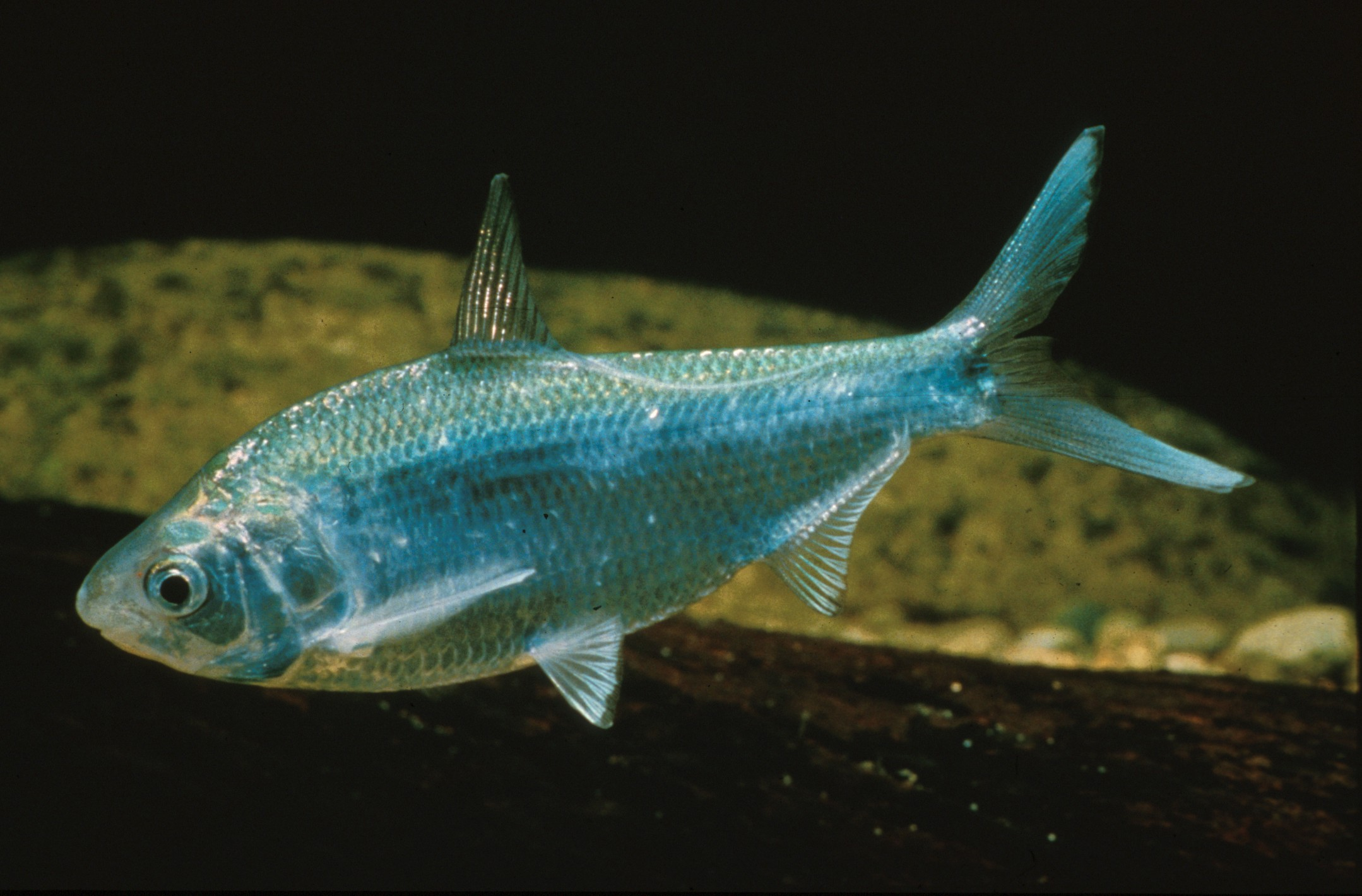 Nematolosa erebi (Bony Bream)