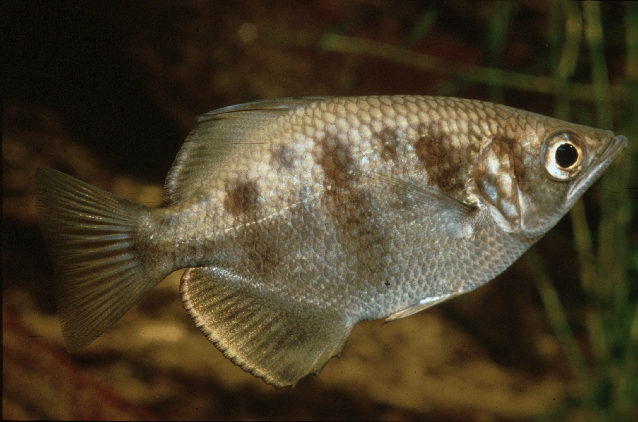 Toxotes chatareus (Archer Fish)