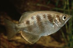 Toxotes chatareus (Archer Fish)