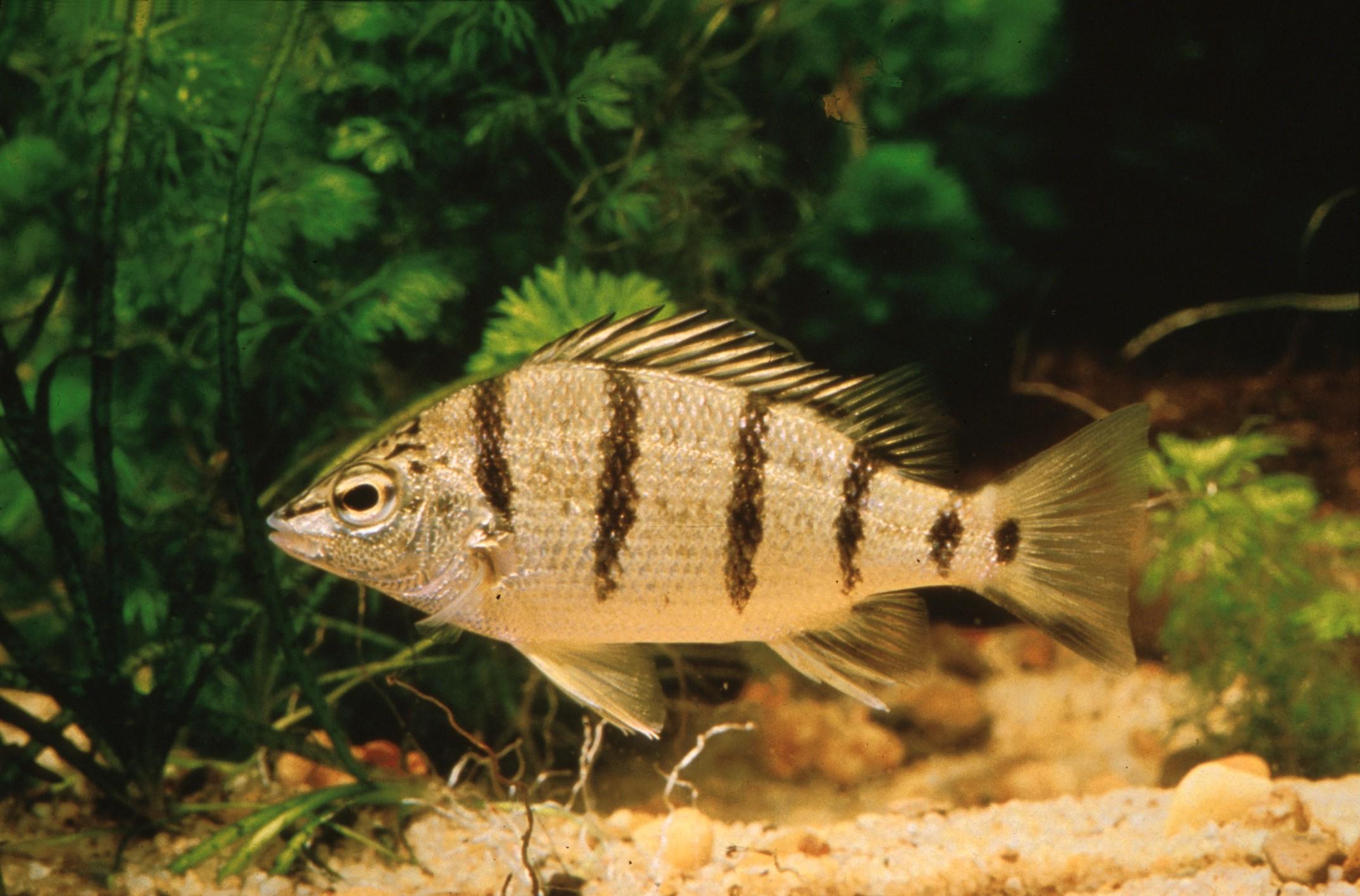 Amniataba percoides (Banded Grunter)
