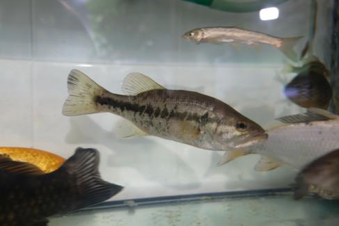 Micropterus salmoides