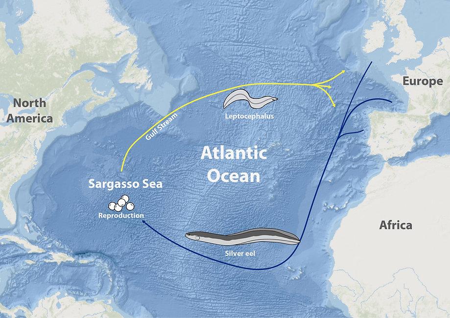 Anguilla anguilla migration