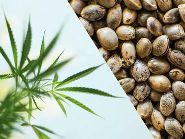 【続編】ヘンプと大麻草(マリファナ)の違いを解説します