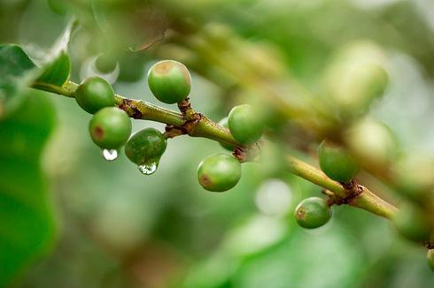 cerezas-cafe-granos-cafe-cafeto-rama-caf