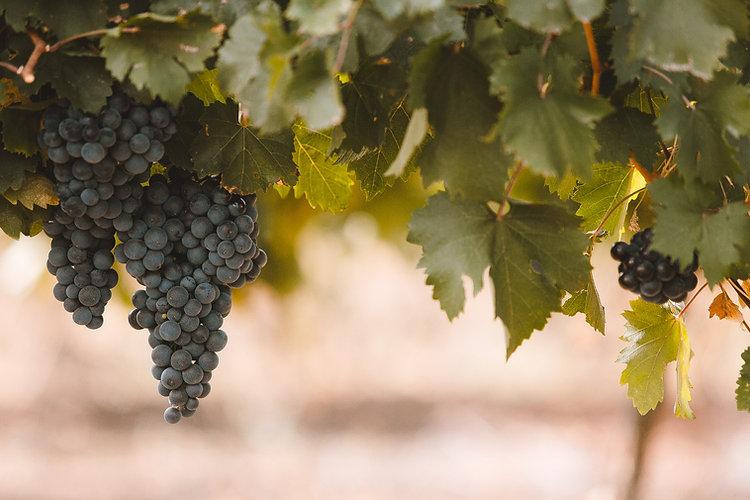 kreyon-wine-autumn-vineyards-moldova-peo