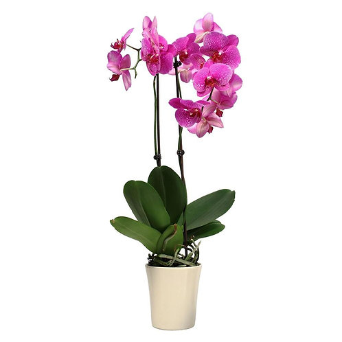 Local Grown Orchid plant